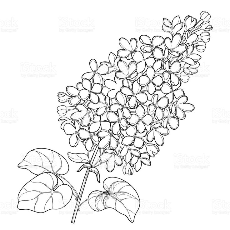 Vector Branch With Outline Lilac Or Syringa Flower Bunch
