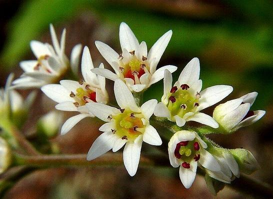 돌단풍, Aceriphyllum  rossii  ENGL.
