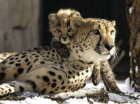 The Cheetah is considered the world's fastest land mammal reaching speeds of up to 75 mph. The Cheetah was listed as endangered in 1970. The existence is threatened by habitat loss and hunting for their spotted pelt. They are also sometimes killed by farmers protecting their livestock.