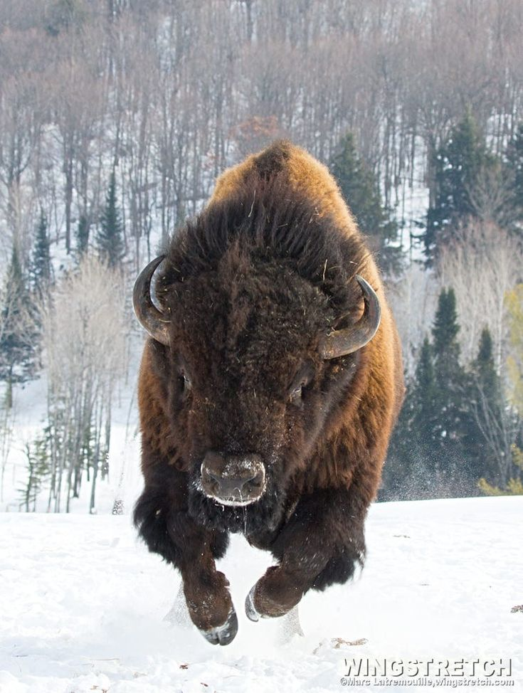 Charging Bison by Marc Latremouille on 500px