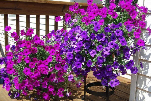 Pflanze Des Monats Trailing Petunias Petunia Plant Plants Trailing Petunias