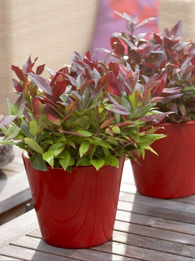 Leucothoe is een struikje uit de heide-familie. Het verkleurende, wat spitse blad is in de winter heel opvallend. Zelfs op een terras met schaduw is Leucothoe een ideale plant waar je veel plezier van hebt.