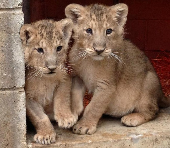 Bristol Zoo's Asiatic Lion cub brothers are thriving thanks to expert hand-rearing by vets and keepers. At nine and a half weeks old, they are on their way to playing an important role in the conservation of their species. See them nursing and playing through images and video, today on @ZooBorns.