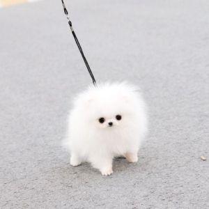 micro teacup Pomeranian aaaww how small & fluffy!!!