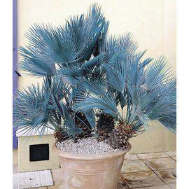Winterharte Blaue Zwerg-Palmen, 1 Pflanze, Chamaerops humilis Cerifera