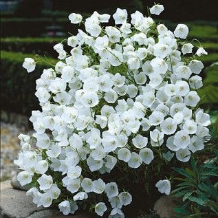 """Bellflower White Clips Zones: 3, 4, 5, 6, 7, 8, 9 Plant Size: 8-10"""" tall, Up to 18"""" wide Light: Full Sun, Half Sun / Half Shade Bloom Time: Early to late summe..."""