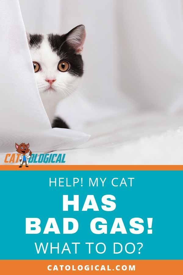 Help My Cat Has Really Bad Gas Why And What Should You Do Why Do Cats Purr Cat Having Kittens Cats
