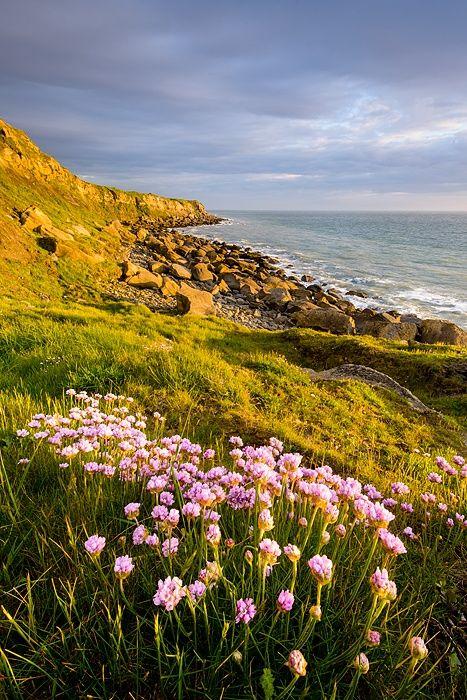Sea thrift - Cap Gris Nez, France