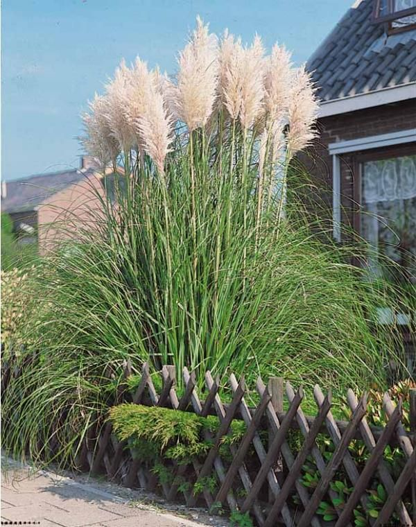 Les 25 meilleures id es de la cat gorie herbe de la pampa sur pinterest plantes d 39 ornement - Herbe de la pampa prix ...
