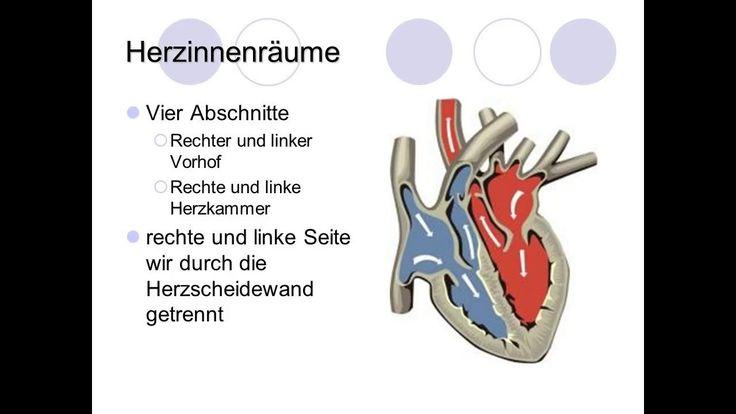 funktionen herz funktionen herz Das Herz liegt als etwa faustgroßes Organ hinter dem Brustbein. Es sitzt eingebettet zwischen den beiden Lungenflügeln dem Zwerchfell auf. In seiner Form entspricht es in etwa einem Dreieck mit nach unten zeigender und abgerundeter Spitze. Man kann sich das Herz wie einen hohlen Muskel vorstellen.