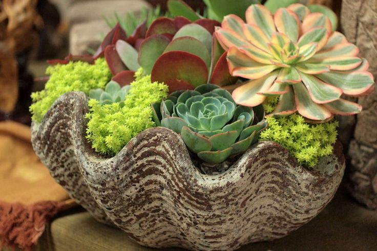 8 Best Images About Clamshell Succulents On Pinterest