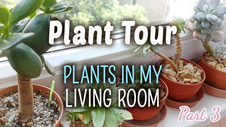 Plant Tour PART 3 | Plants in my Living Room  Here is the third part of the Plant Tour serie. You can see what plants I have in the living room. :)  I mostly have Jade plants growing here and dwarf Mother-in-Law's tongue along with some other succulents.  The Deinostigma tamiana is in bloom, it has many flowers. I always look at it when I sit in front of my desk.