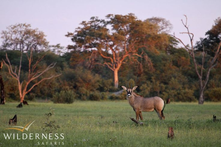 Kings Pool Camp - Viewing the roan antelope in the area is equally thrilling. Many birds of prey and seasonal zebra congregations can also be seen in the cathedral-like woodland of mature mopane trees. #Safari #Africa #Botswana #WildernessSafaris