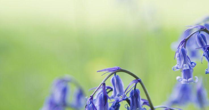 Especies de flores de campanilla. Las numerosas especies de flores comúnmente conocidas como campanillas, van desde delicadas flores anuales que anuncian la llegada de la primavera hasta perennes resistentes que prosperan en condiciones climáticas extremas. Todas comparten un atributo común: sus flores de color azul, en forma de campana. Al elegir las flores de campanilla para tu ...