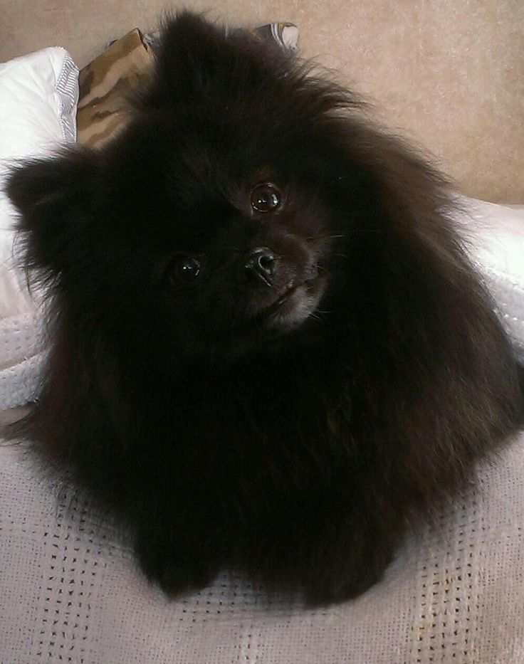 Pomeranian Brie~ very interested in what we're talking about!
