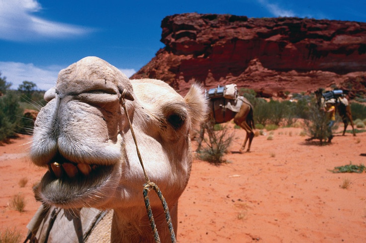 Camel in the Red Centre