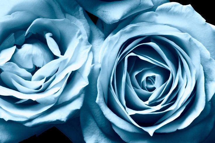Blue Frosty Roses Wallpaper HD Full Screen