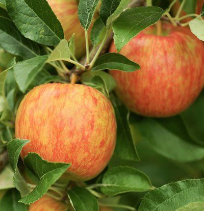 It's Like Growing Dessert on a Tree! -  'Honeycrisp' Apples are amazingly juicy when bought at the store... so imagine how delicious they'll be right off the branch.    It's just like growing dessert on a tree!   The 'Honeycrisp™' is everything you could want from an apple. It lives up to its name with your first bite; it's...