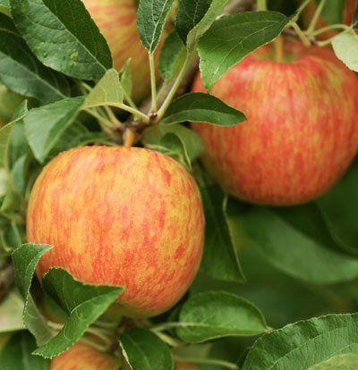 Honeycrisp Apple Trees - Dwarf Apple Trees for Sale for Sale | Fast Growing Trees