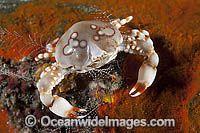 štrkovitá Krabie