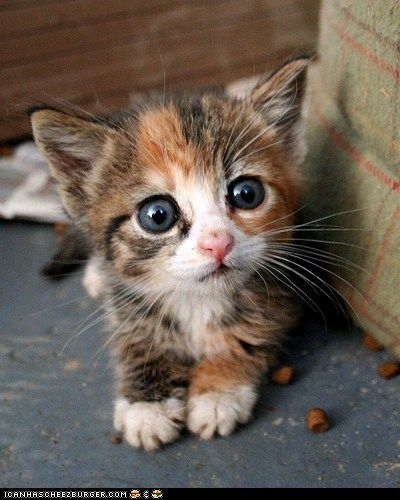 meowKitty Cat, Animal Baby, Company Picnics, Summer Picnics, Pets Pictures, Baby Kittens, Baby Animal, Big Eye, Baby Cat