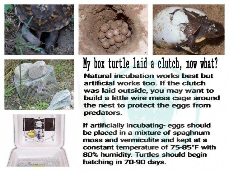 Box turtle laid eggs/incubation hatchingeggs Turtle