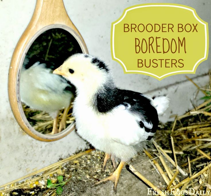 Fresh Eggs Daily®: 8 Brooder Box Boredom Busters for Baby Chicks