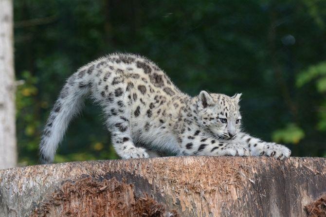 котенок, поза, хищник, детеныш, ирбис, когти, потягивается, снежный барс, дикая кошка, барс