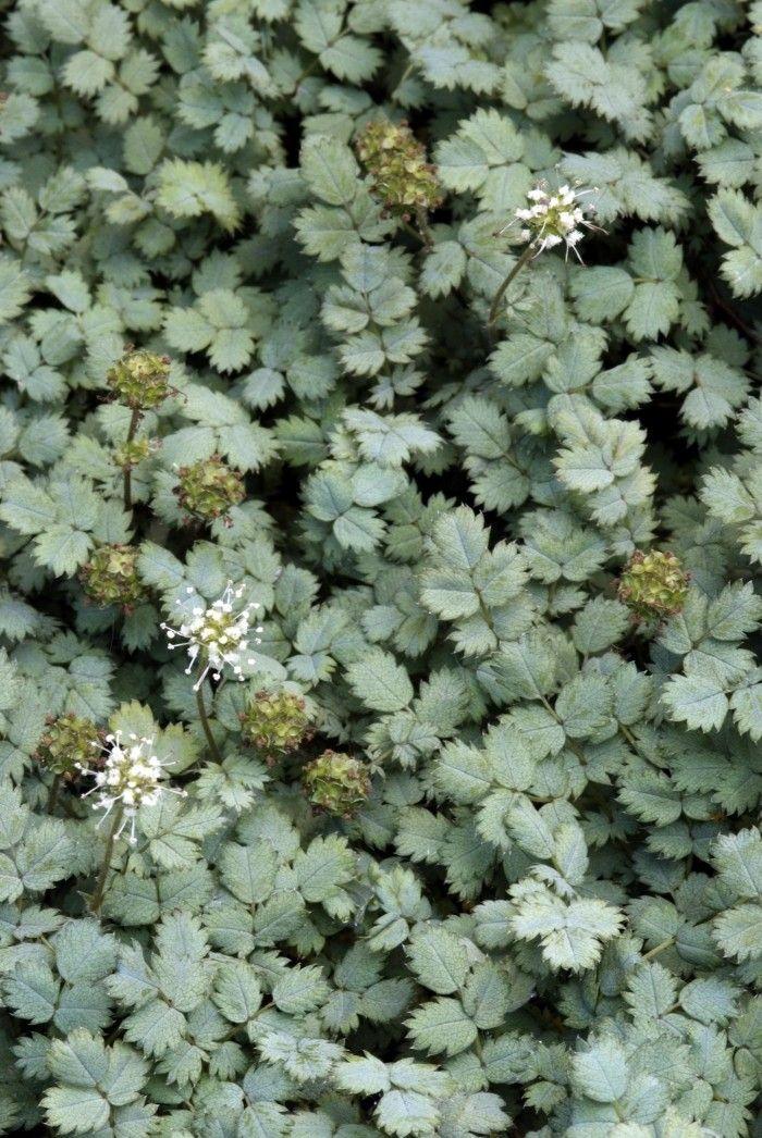 Acaena buchananii (Stekelnootje) - De Tuinen van Appeltern