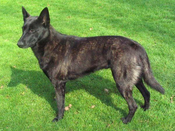 Hollandse herder korthaar - Dutch Shepherd Dog - Wikipedia, the free encyclopedia