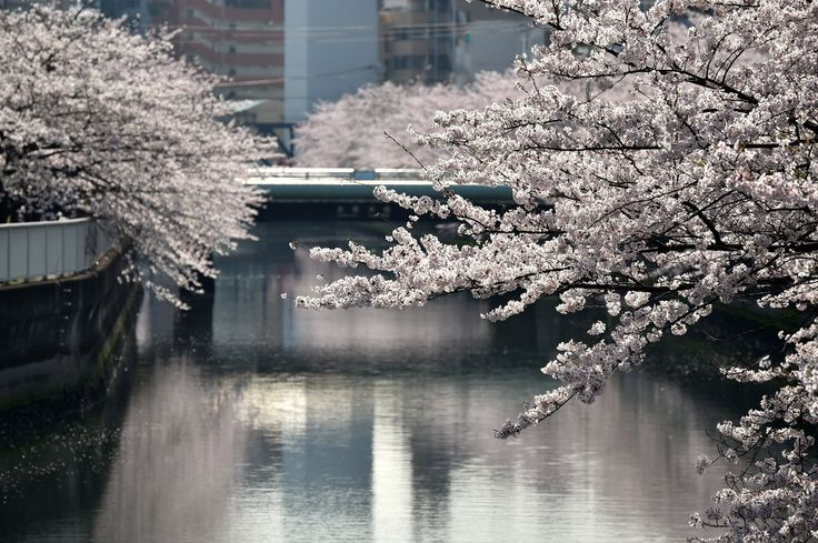 Gorgeous Photos Show Off Japan's Cherry Blossom Season
