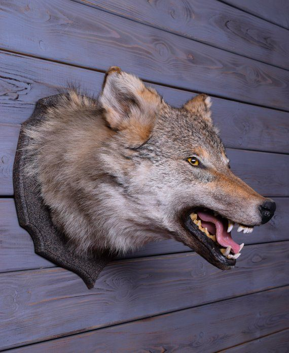 Real Taxidermy Large Coyote Shoulder Stuffed New Hunting Mammals Handmade Mount Museum Piece Biological Specimens Lifesize Expe Taxidermy Coyote Mounts Coyote
