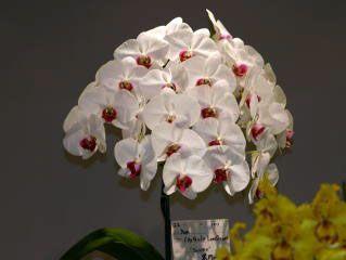 ほっかいどう 世界の蘭展2004 ブルーリボン Hokkaido World Orchid Show 2004 Blue Ribbon