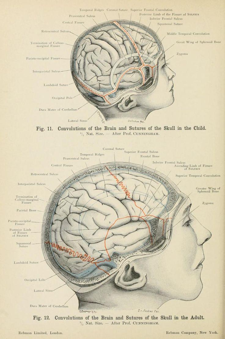 336 best MDD Anat. Craniums & Brains images on Pinterest | Human ...