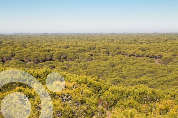 #Birding_in_Spain : El Abalario pine woods. More information to plan your trip to #Doñana in www.qnatur.com