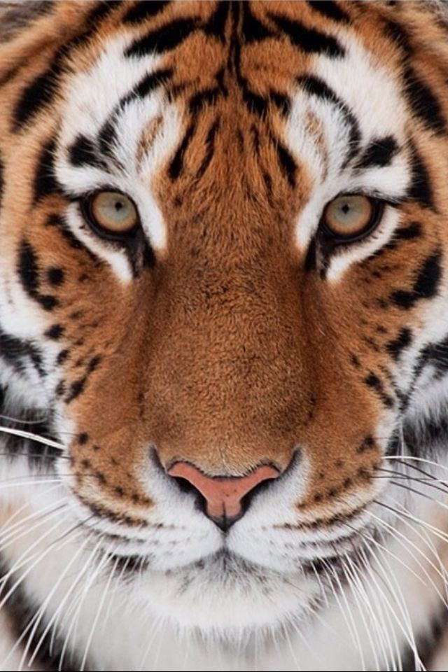 Outstanding Very Beautiful Tiger.