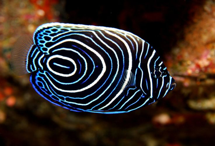 What's currently in my tank: Juvenile Emperor Angelfish (Pomocanthus imperator).  He's an interesting angelfish because when he becomes an adult, he changes colors and has a new look. There are other angelfishes that change colors going into adulthood.  The one in my tank eats very well and has a curious nature.