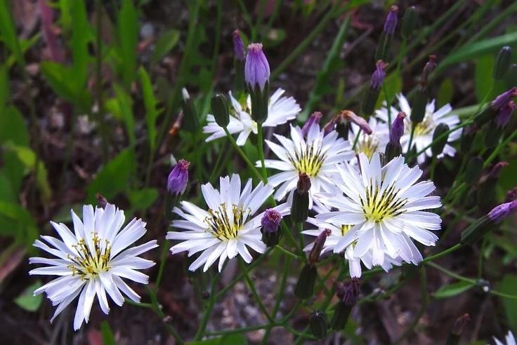 선씀바귀 Ixeris chinensis var.strigosa (LEV. ET VNT.) OHWI