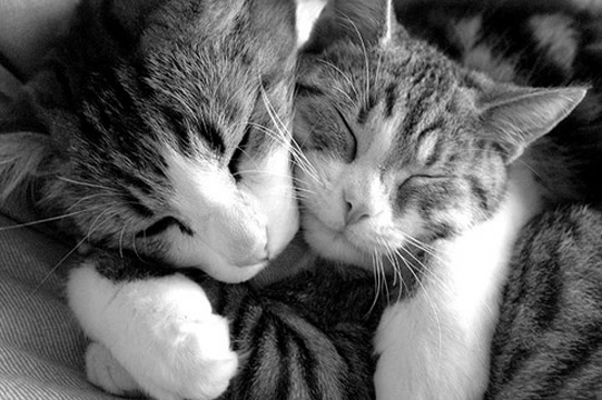 Adorable cats cuddling.: Cats, Cat Hugs, Kitty Cat, Animals, Pet, Kitty Hug, Kittens, Kitties, Friend
