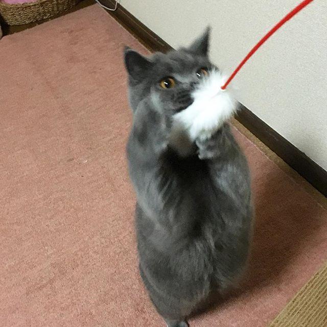 まろ誕生日おめでとー!!1歳になりました✨誕生日プレゼントのじゃらしで遊ぶ遊ぶ! #cat #britishblue #britishshorthair #猫 #ブリティッシュブルー #ブリティッシュショートヘアkingyoliza2016/02/21 00:00:56