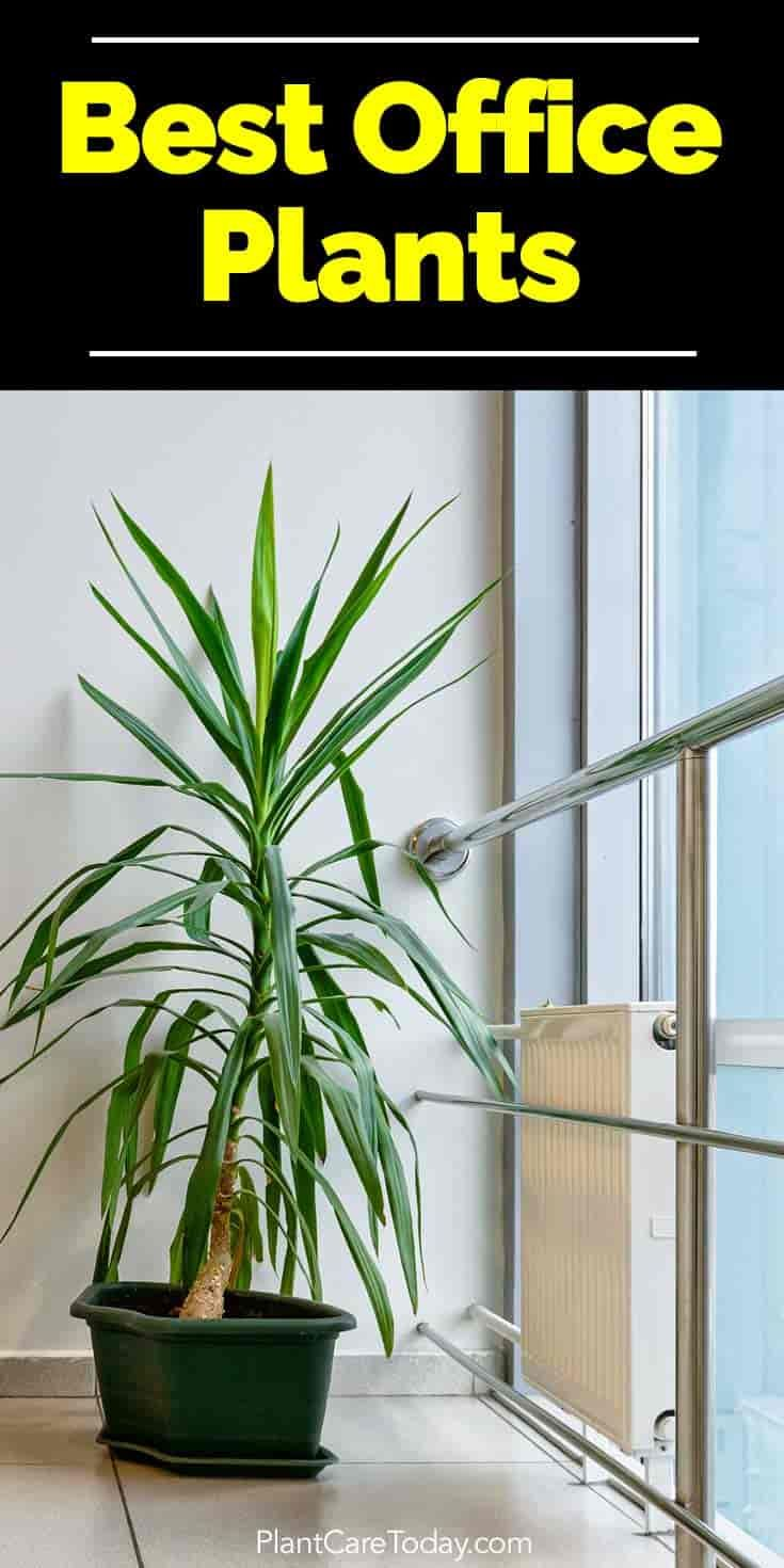 25 Office Plants That Fit On Your Desk: Best 25+ Yucca Plant Ideas On Pinterest