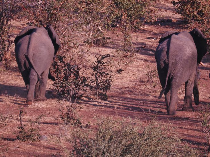 Two big Bulls leaving the waterhole early on our last day.