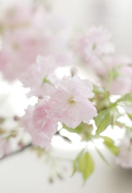 kirschblüten wunderschön-gemacht