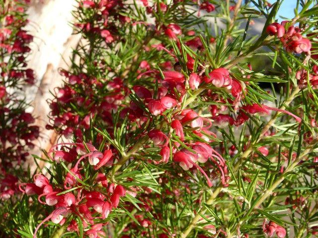 Grevillea Cherry Ripe --- For more Australian native plants visit austraflora.com