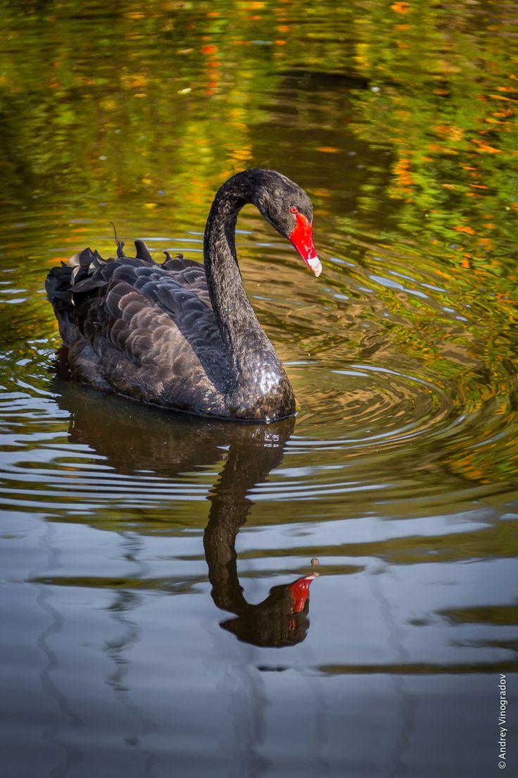 swan lake black personals In scoring the acclaimed darren aronofsky-directed 2010 thriller black swan,  black swan (original motion picture  classic 1876 ballet score swan lake.