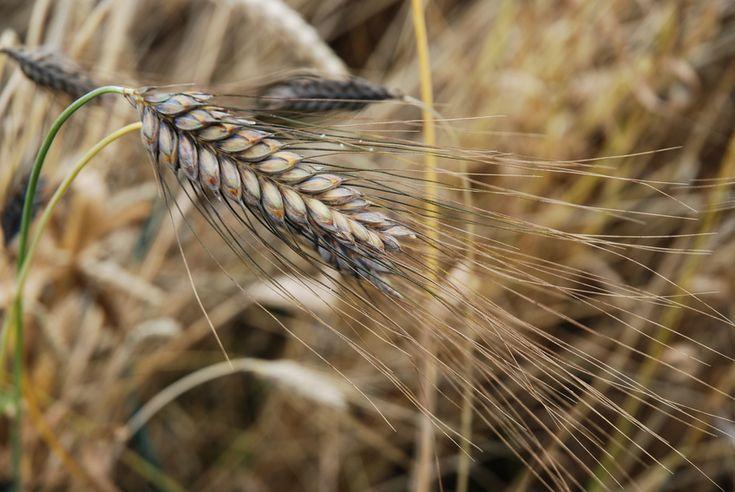 Bei Emmer handelt es sich nicht nur um eine der gesündesten Getreidesorten, sondern ebenso um eine der ältesten aus der Gruppe der Weizenarten