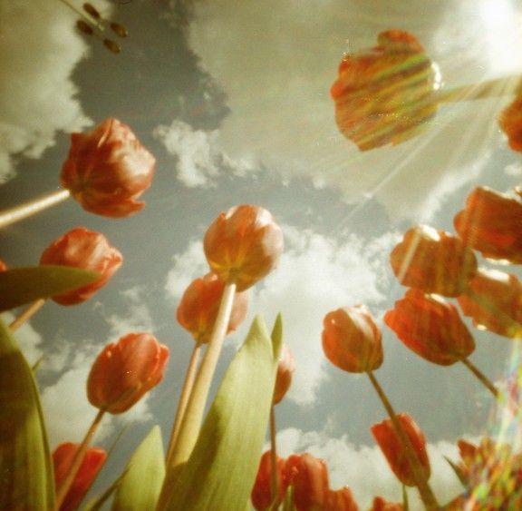 tulips - pinhole