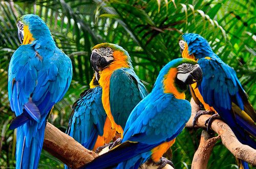 : Blue Gold, Color, Parrots, Pet Birds, Photo, Central America, Blue And Gold Macaw, Blossoms, Animal