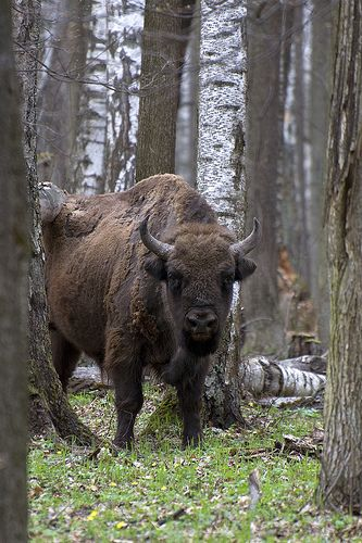 The European bison (Bison bonasus), also known as wisent. Moscow region. Prioksko-Terrasny Nature Biosphere Reserve Russia