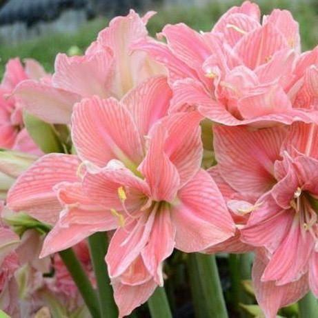 32 best amaryllis images on pinterest cut flowers for Amaryllis sweet pink